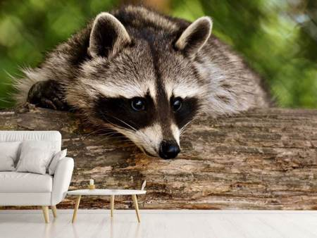 Photo Wallpaper The cute raccoon